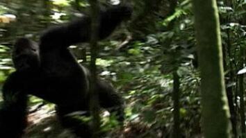 Gorilla Charge
