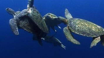 Sea Turtle Mating Melee