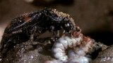 Bad Mother? Burying Beetles Raise Their Young With Animal Corpses