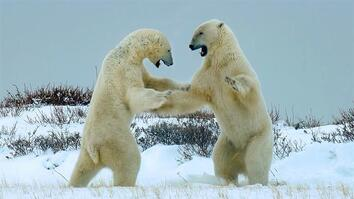 Male polar bears fight each other—for a surprising reason