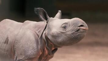 Watch Rare Baby Rhino Toddle Around