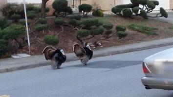 Why Are Turkeys Running Wild in These Neighborhoods?