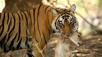 Watch Two Bengal Tigers Clash Over Hunting Grounds