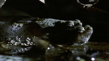 Mud Puddle Frogs Mate