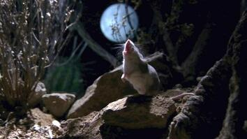 This Grasshopper Mouse Hunts Scorpions, Howls at Moon