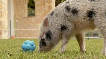 Watch pigs communicate with humans in new experiment