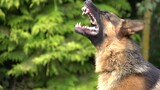 What Makes Some Dogs More Aggressive?