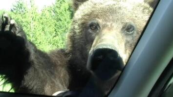 Too Close For Comfort: Grizzly Bear Climbs on Car