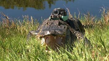 """Narcoleptic"" Alligator & Other Gators ""Film"" Their Day"