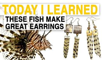 TIL: Lionfish Jewelry Can Help Save the Ocean