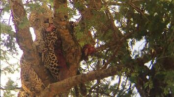 Rare Video: Leopard Cannibalizes Another Leopard