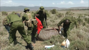 Rare Zebra Gets Second Chance Thanks to Rescuers