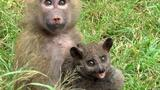 The Baboon and the Bush Baby