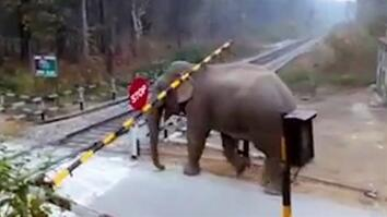 Watch: Impatient Elephant Disobeys Railway Rules