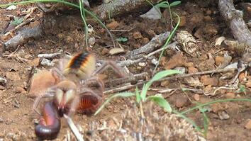 Watch Camel Spider Capture, Kill Millipede at 'Warp Speed'
