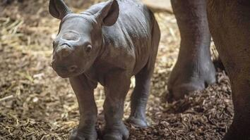 Meet A Baby Endangered Eastern Black Rhino