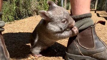 Watch a Rescued Baby Wombat Frolic and Get Tickled