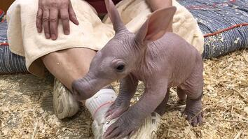 'Ugly Cute' Baby Aardvark Takes its First Steps