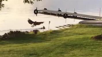 See a Bald Eagle Attack a Swimming Deer