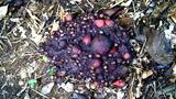 Cassowary Dung's Seedy, Smelly Secrets