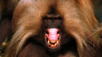 World's Deadliest: Gelada vs. Gelada
