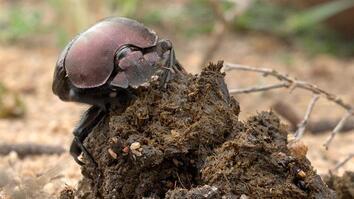 Gross but True: These Beetles Roll Around Big Balls of Poop
