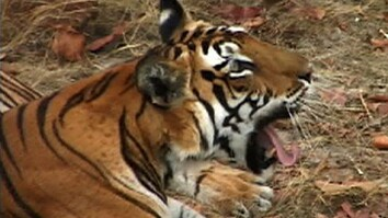 Sita the Tiger