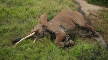One of the Last Big Tusker Elephants Was Killed by Poachers