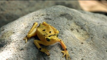Panama Golden Frog Threatened