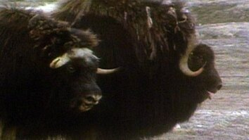 Musk Oxen vs. Wolves