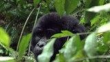 Hanging With Gorillas
