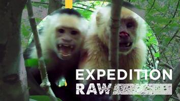 Capuchin Monkey Soap Opera in Costa Rica