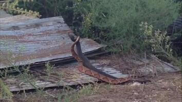 Rare Video: Cottonmouth and Copperhead Snakes Locked in Ritualized Combat