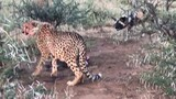 Cheetahs vs. Wild Dogs: Who Will Win This Food Fight?