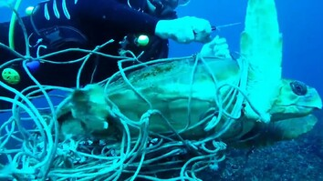 Entangled Sea Turtle Saved by Divers