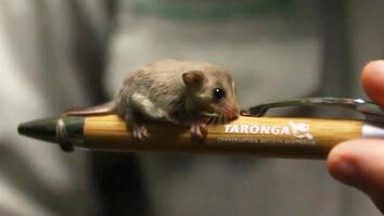 Twenty Tiny Pygmy Gliders Born at Australia Zoo