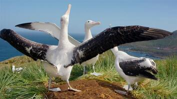 Behind the Shot: How to film albatrosses flying at 60 miles an hour