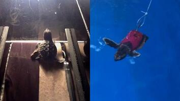 Watch Baby Sea Turtles Run on Treadmills—for Science