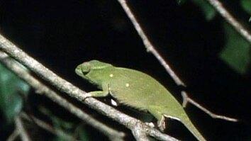 Petter's Chameleon