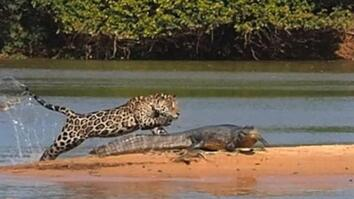 Jaguar Attacks Crocodile Cousin (EXCLUSIVE VIDEO)