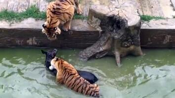 Live Donkey Fed to Tigers at Chinese Zoo (GRAPHIC VIDEO)