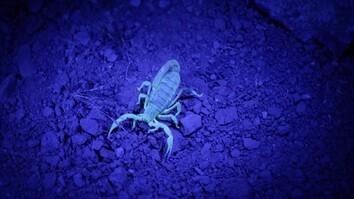 Watch Scorpions Glow in the Dark