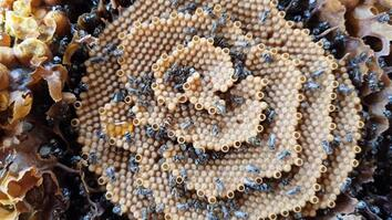 See the Unique Spiral Hives of the Australian Stingless Bee