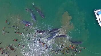 Watch a Rescue Effort to Save 10 Stranded Whales