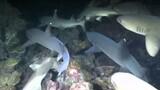 River of Sharks