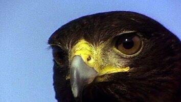 Harris's Hawks