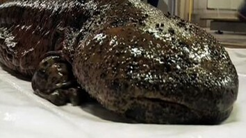 Giant Salamanders Helped to Spawn