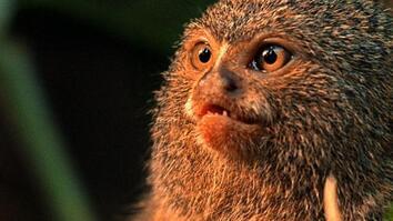 World's Weirdest: Smallest Monkey Turf War