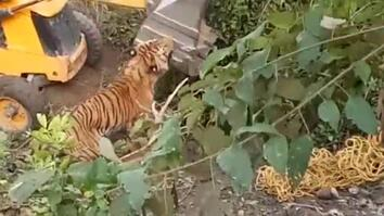 Capture Gone Bad? Was This Tiger Crushed to Death?