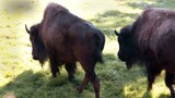 "Bison Charge Into National Zoo: ""First"" Animal Returns"